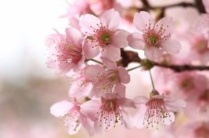200本のソメイヨシノが咲き乱れる「ささやまの森公園」。